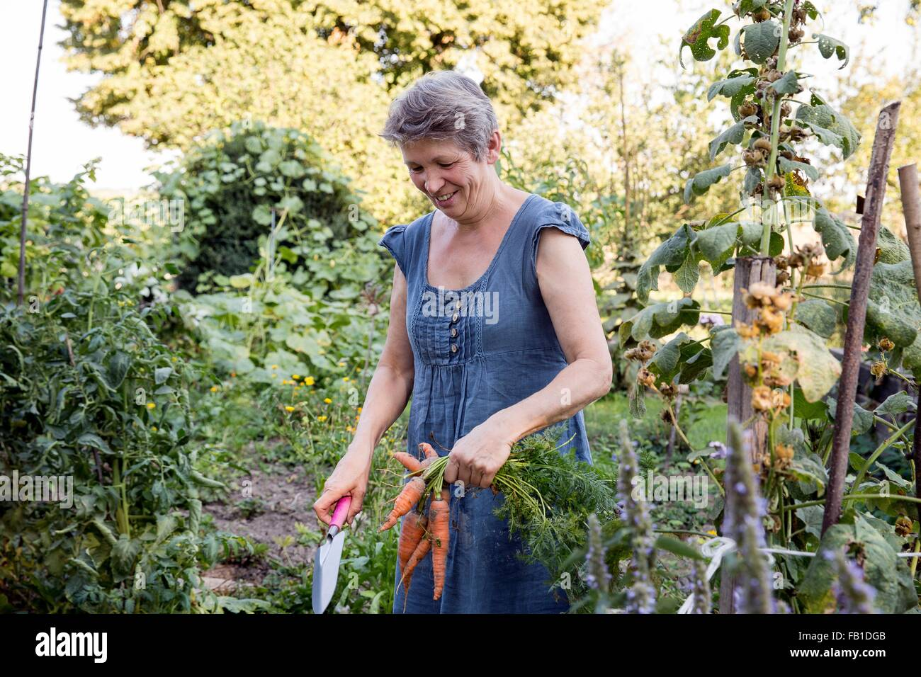Mature woman gardening, digging up fresh carrots - Stock Image