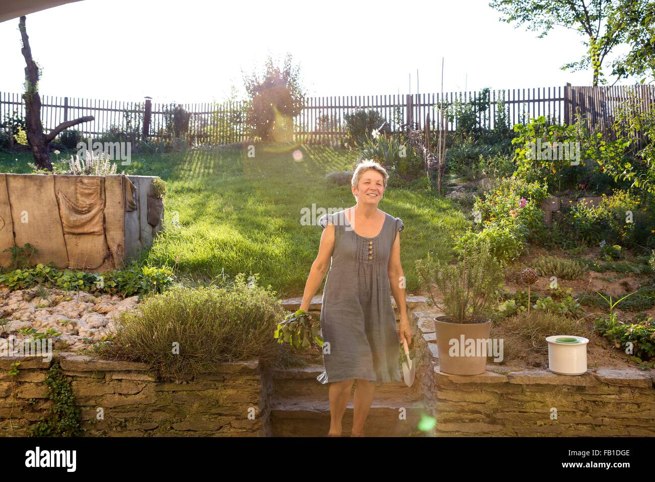 Mature woman gardening, digging up fresh vegetables - Stock Image