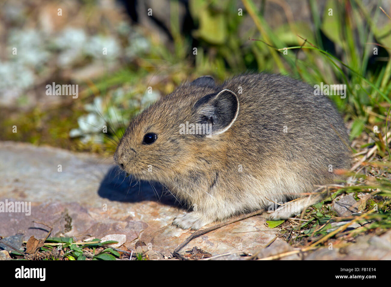 American pika (Ochotona princeps) native to alpine regions of Canada and western US, first victims to global climate - Stock Image