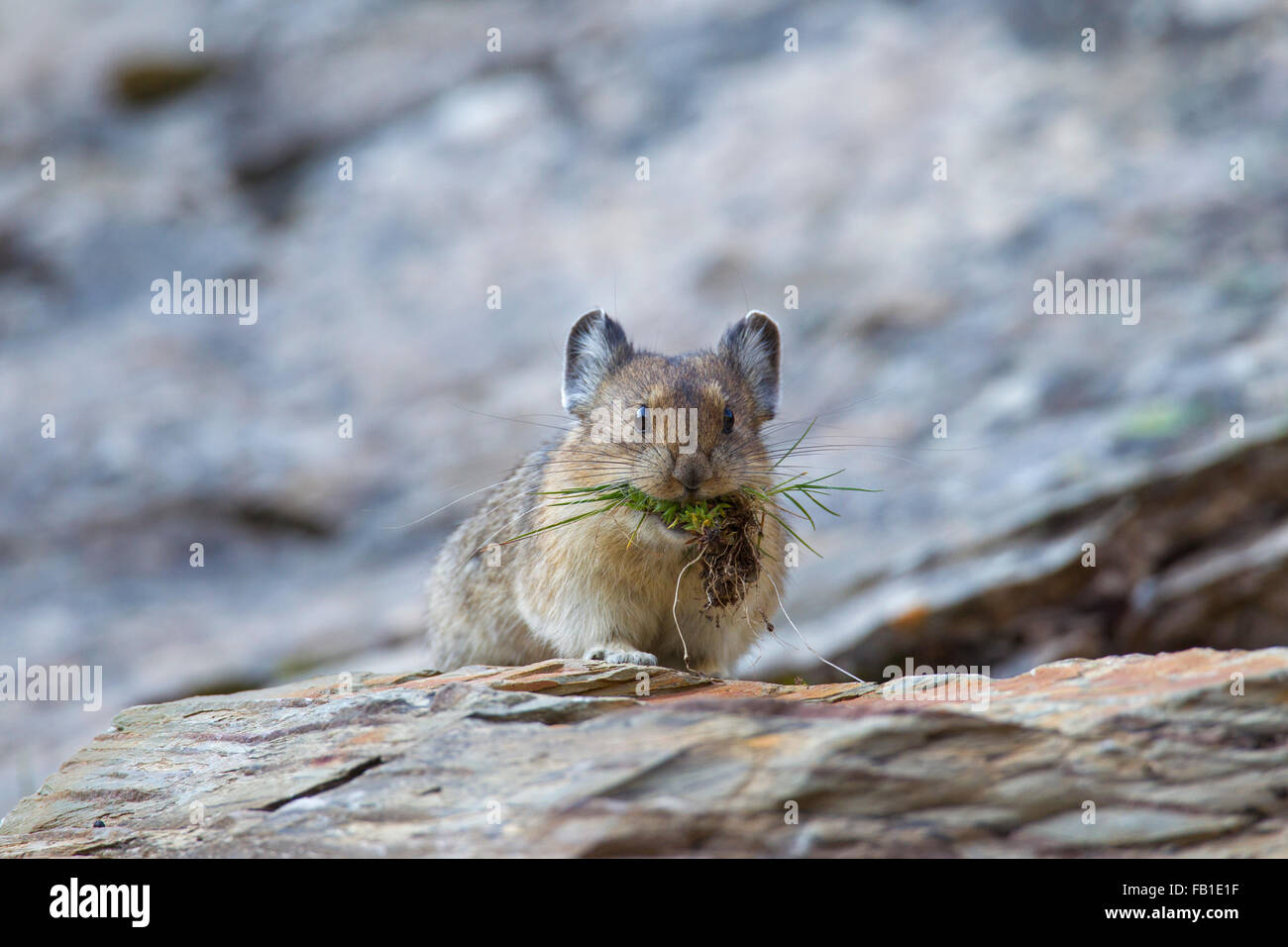 American pika (Ochotona princeps) native to alpine regions of Canada and US, with a mouthful of vegetation in rocky - Stock Image