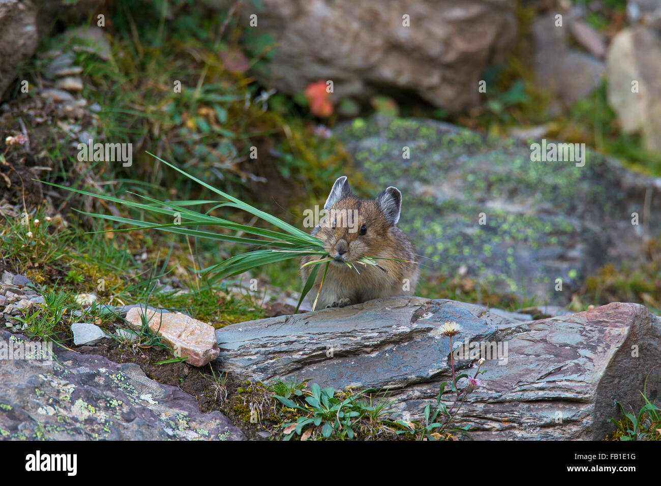 American pika (Ochotona princeps) native to alpine regions of Canada and western US, with a mouthful of grass stalks - Stock Image