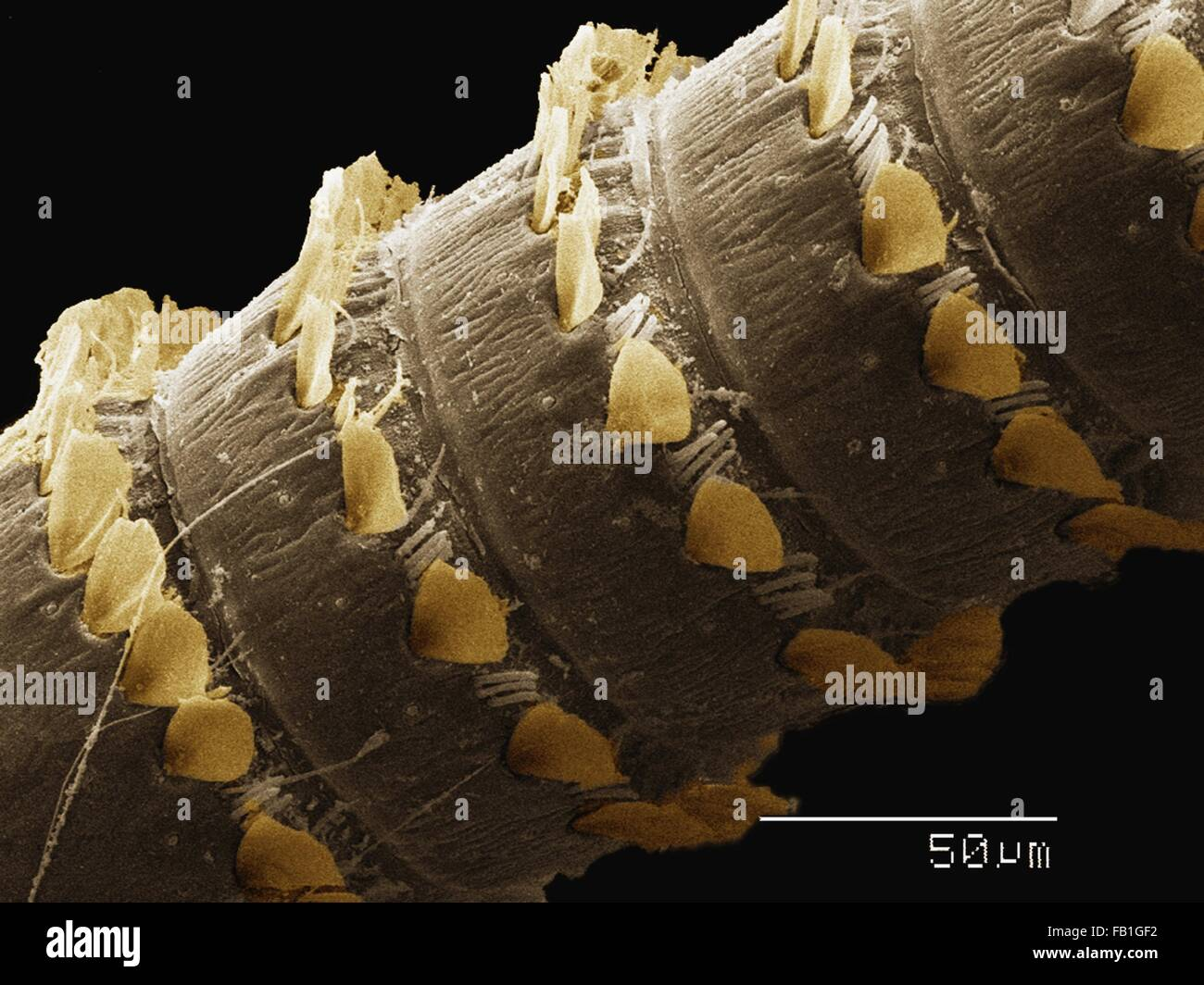 Coloured SEM of antenna of Plecoptera (Peltoperlidae) - Stock Image