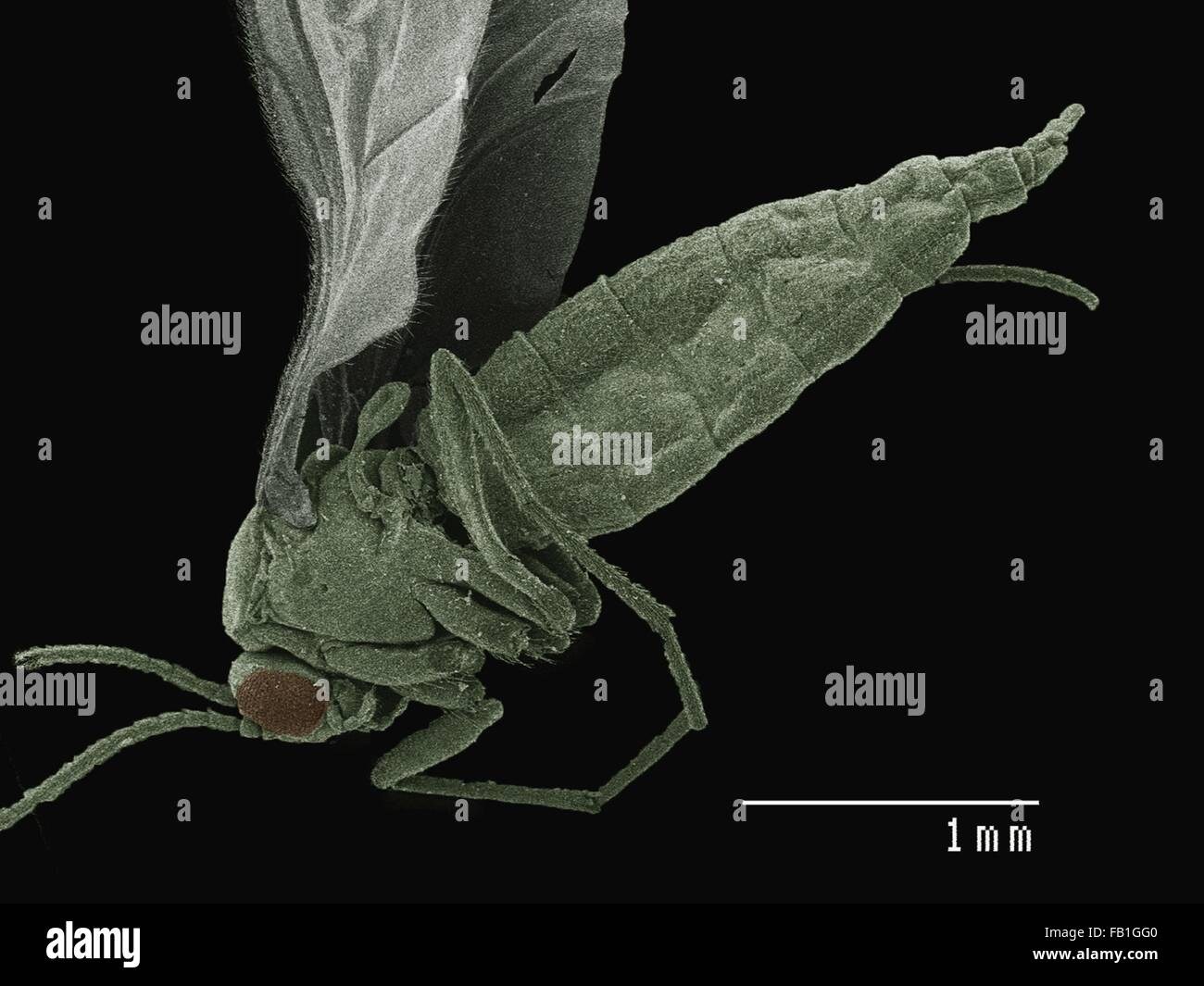 Coloured SEM of small fly (Diptera) Stock Photo