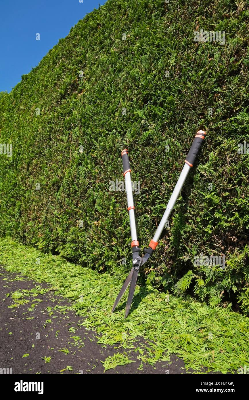 Clipped Thuja occidentalis cedar tree hedge garden shears trimmings black asphalt driveway summer Quebec Canada - Stock Image