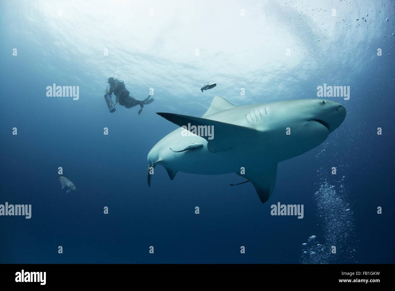 A female bull shark cruises mid water while a diver ascends on the background, Playa del Carmen, Quintana Roo, Mexico - Stock Image