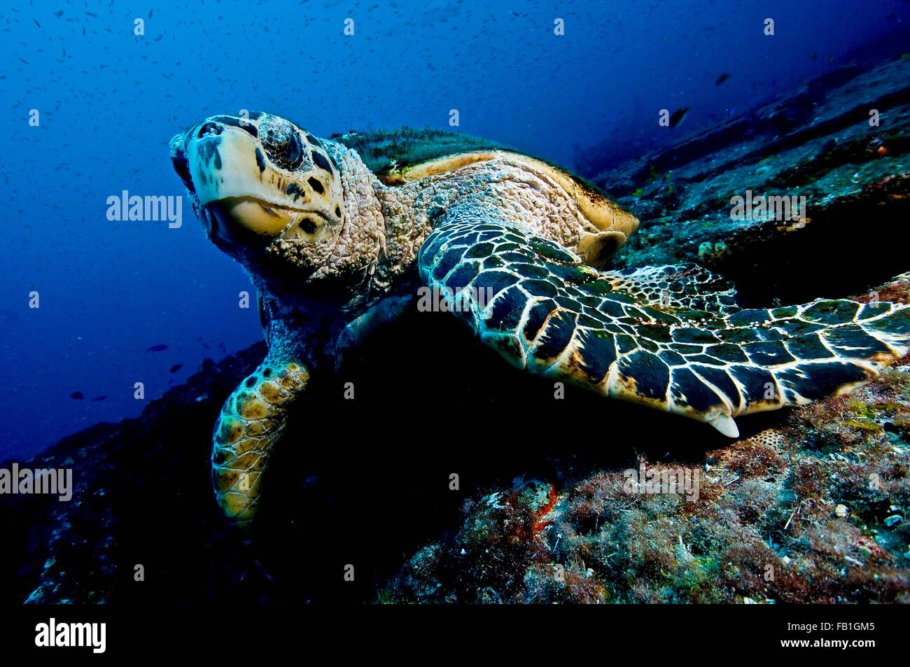 Large turtle resting on top of a wreck, oblivious to divers, Isla Mujeres, Mexico - Stock Image
