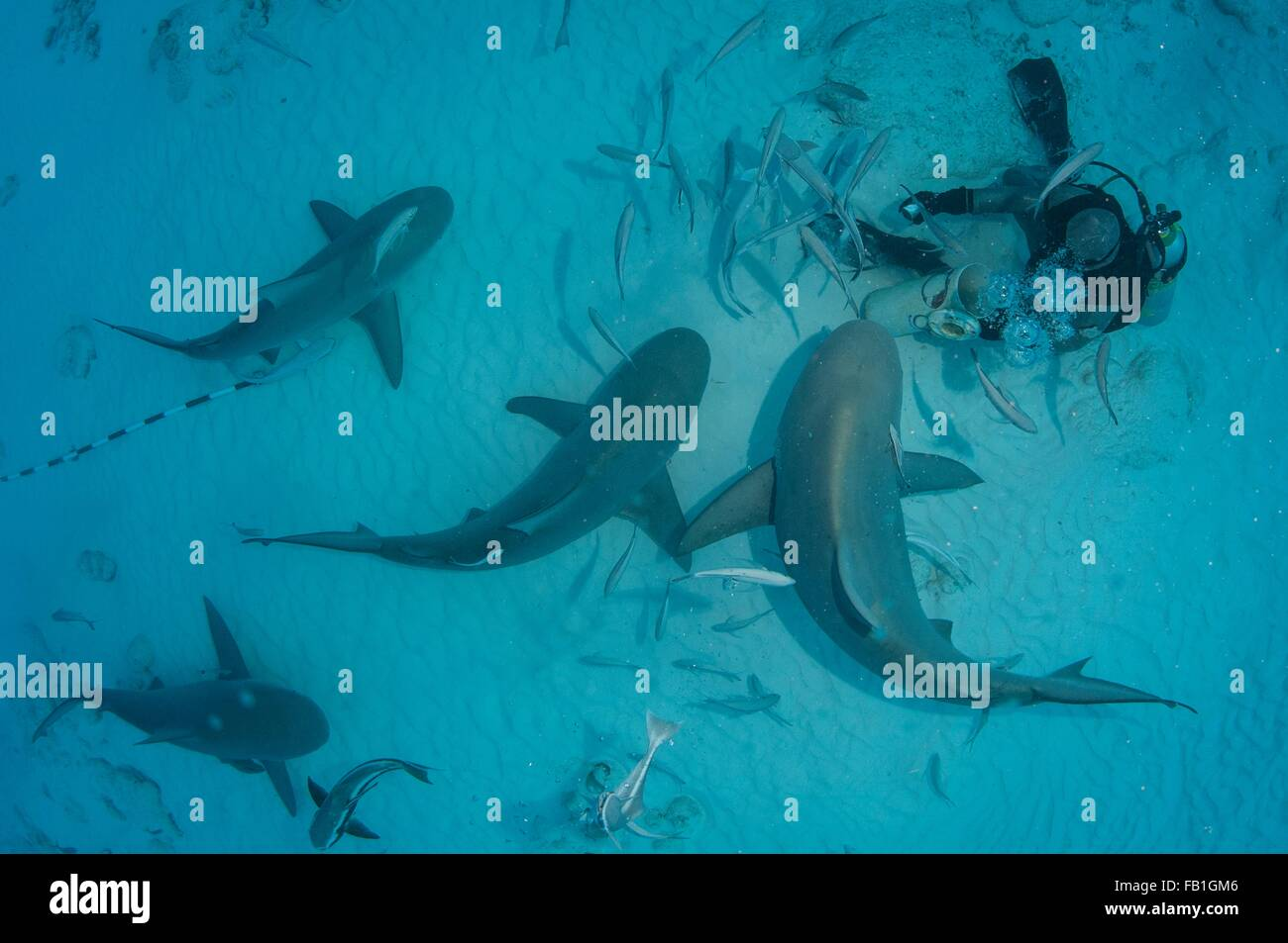 A dive master hand feeds bull sharks during the shark´s winter migration, Playa del Carmen, Mexico - Stock Image