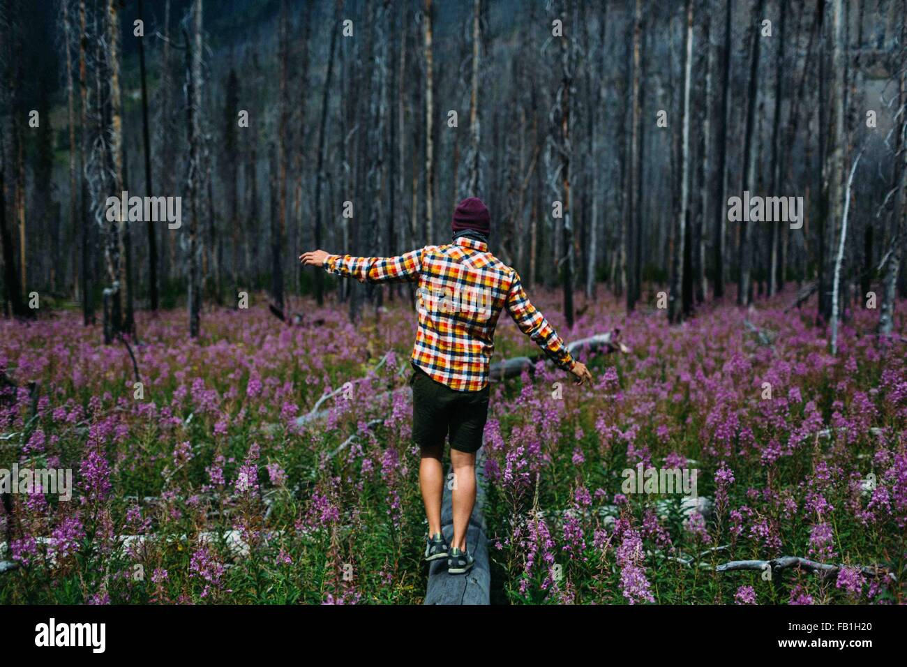 Rear view of mid adult man balancing on fallen tree in field of wildflowers, Moraine lake, Banff National Park, - Stock Image