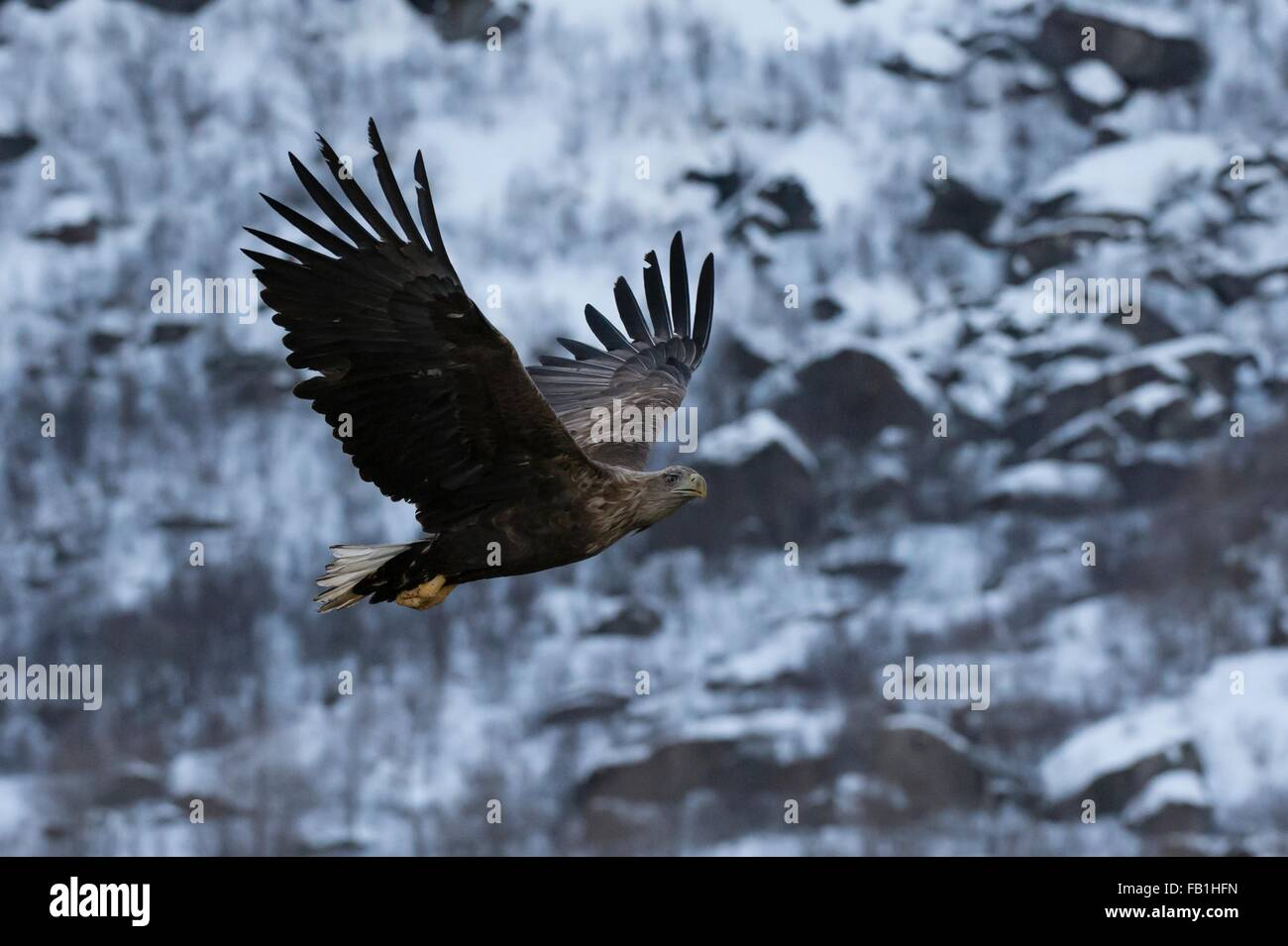 White tailed eagle in flight, Lofoten and Vesteralen Islands, Norway Stock Photo