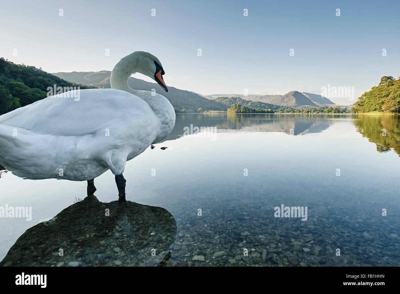 Swan in Grasmere Lake, Grasmere, Cumbria, UK - Stock Image