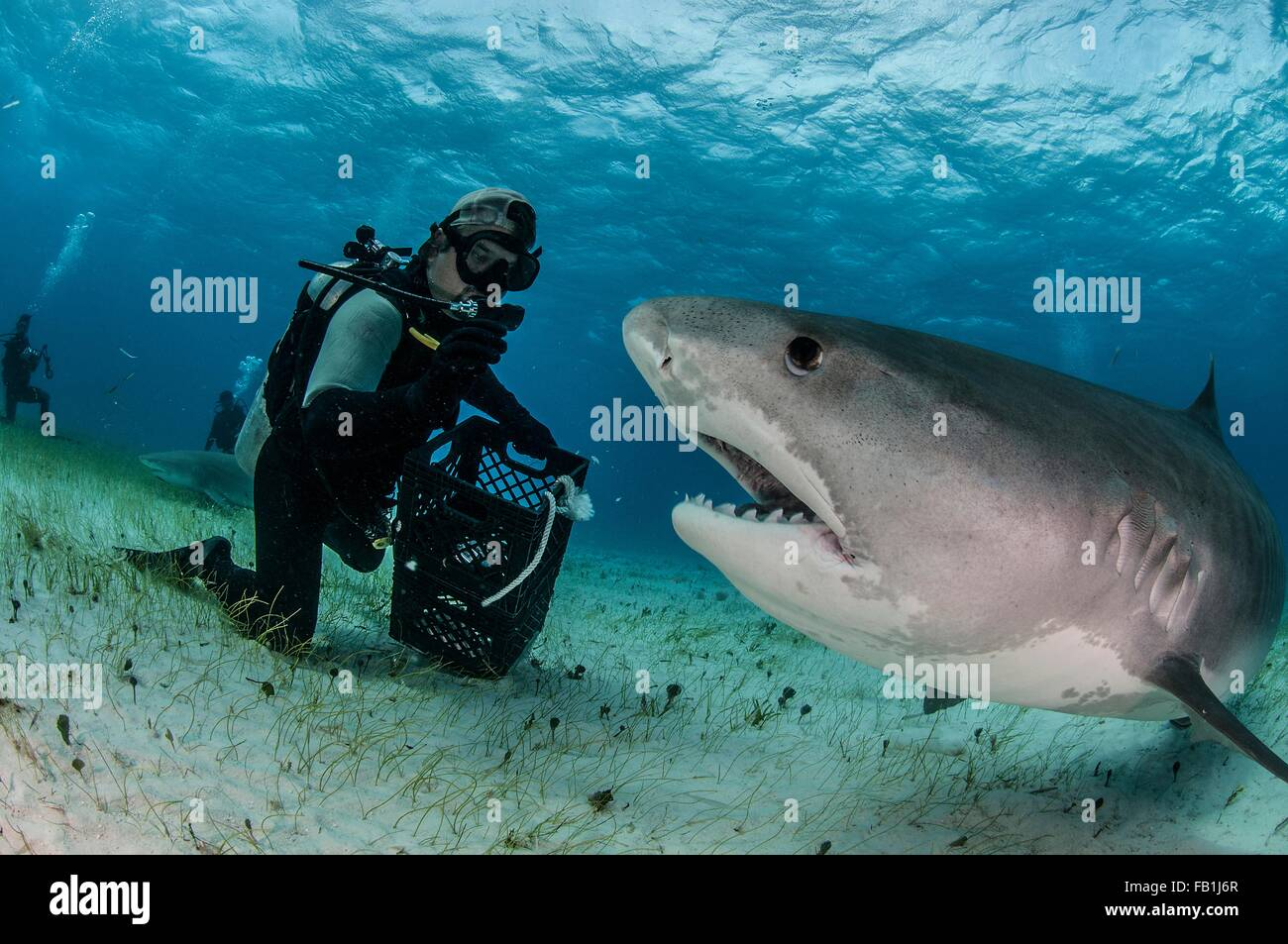 Underwater view of scuba diver on seabed feeding tiger shark, Tiger Beach, Bahamas - Stock Image