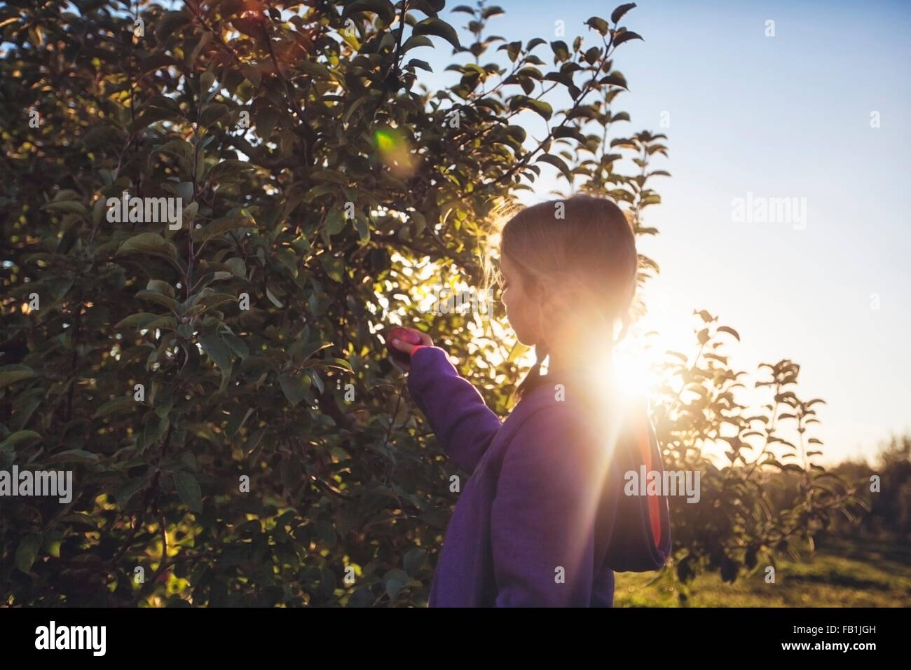 Side view of girl in orchard picking apple from tree - Stock Image
