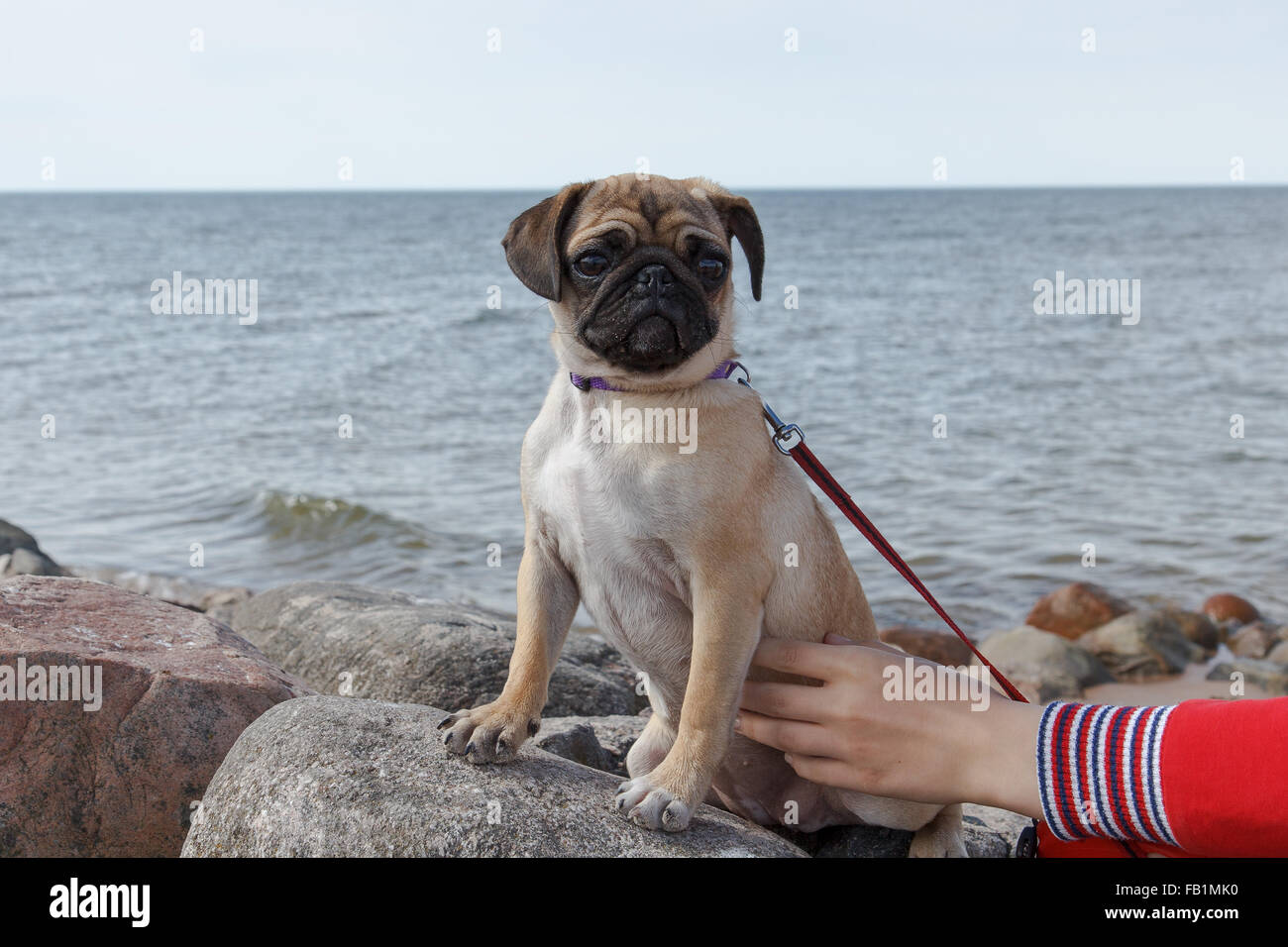 Pug by the sea - Stock Image