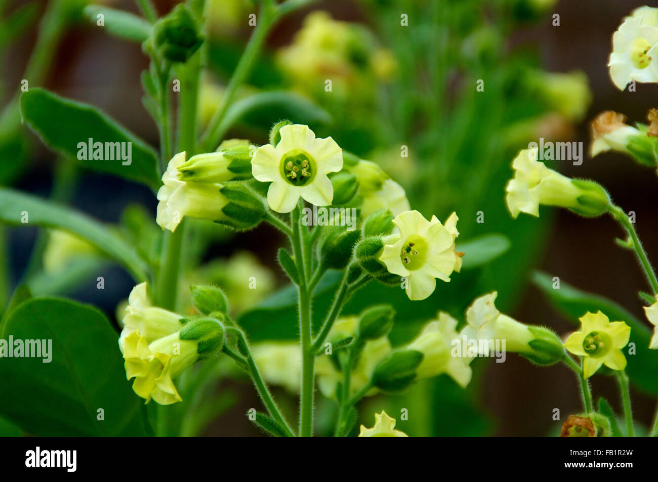 Small yellow flowers of the sacred aztec tobacco plant in bloom small yellow flowers of the sacred aztec tobacco plant in bloom ncotiana rustica also known as aztec and brazilian tobacco mightylinksfo