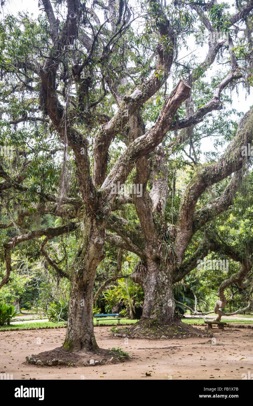 Pau-brasil, Caesalpinia echinata, Botanical Garden, Rio de Janeiro, Brazil - Stock Image