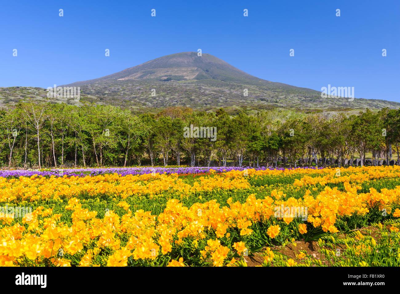 Hachijojima Island, Japan during the Freesia flower bloom season. - Stock Image