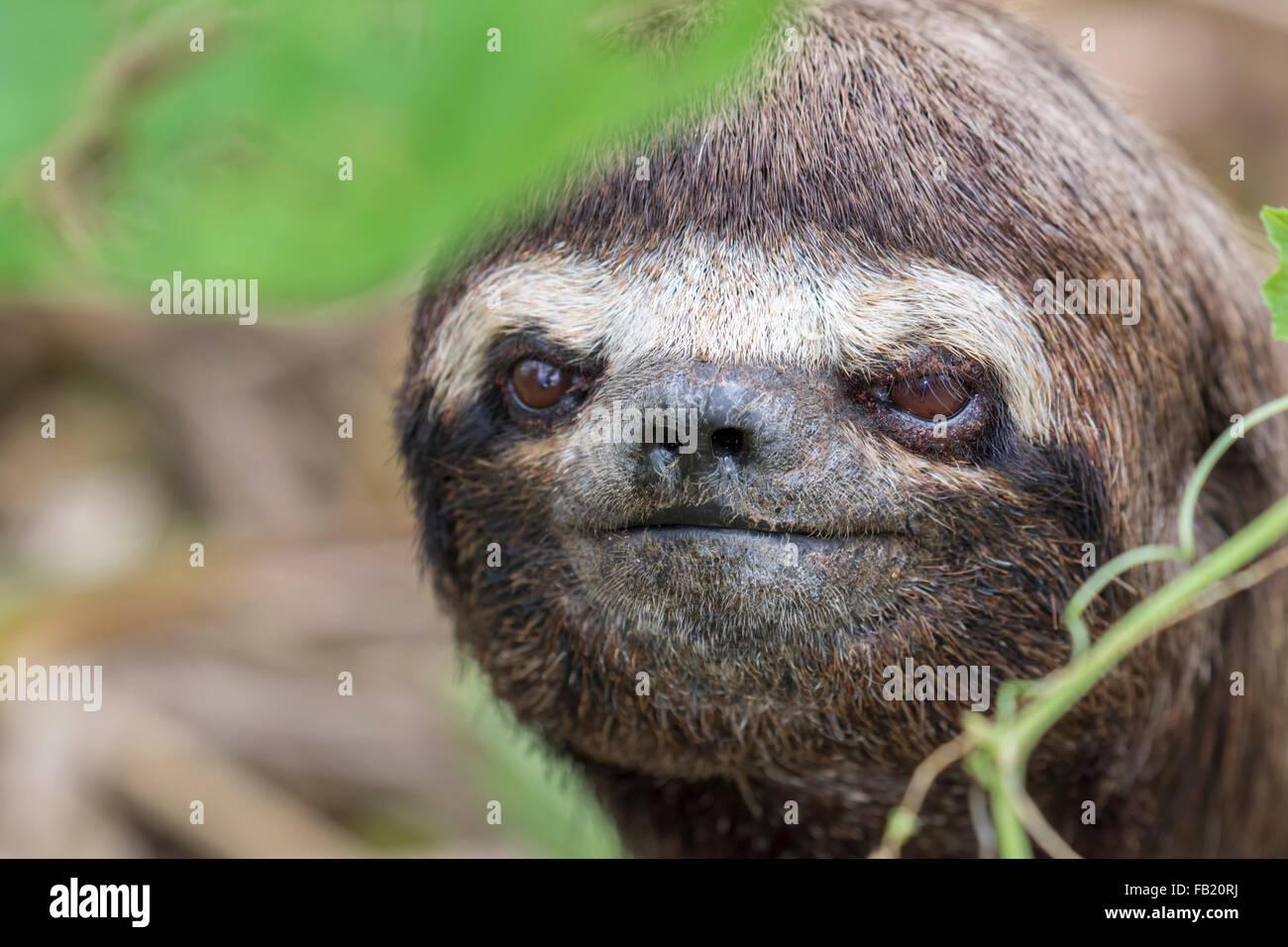 Brown-throated three-toed Sloth (Bradypus variegatus) portrait, Pacaya Samiria National Reserve, Yanayacu River, Peru Stock Photo