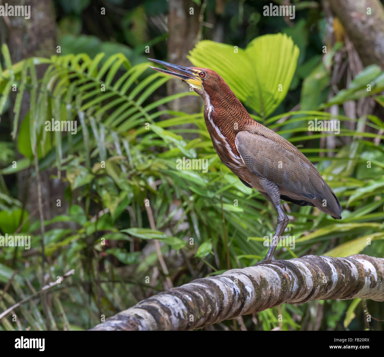 Rufescent tiger heron (Tigrisoma lineatum) in rainforest, Pacaya Samiria National Reserve, Yanayacu River, Amazon Stock Photo