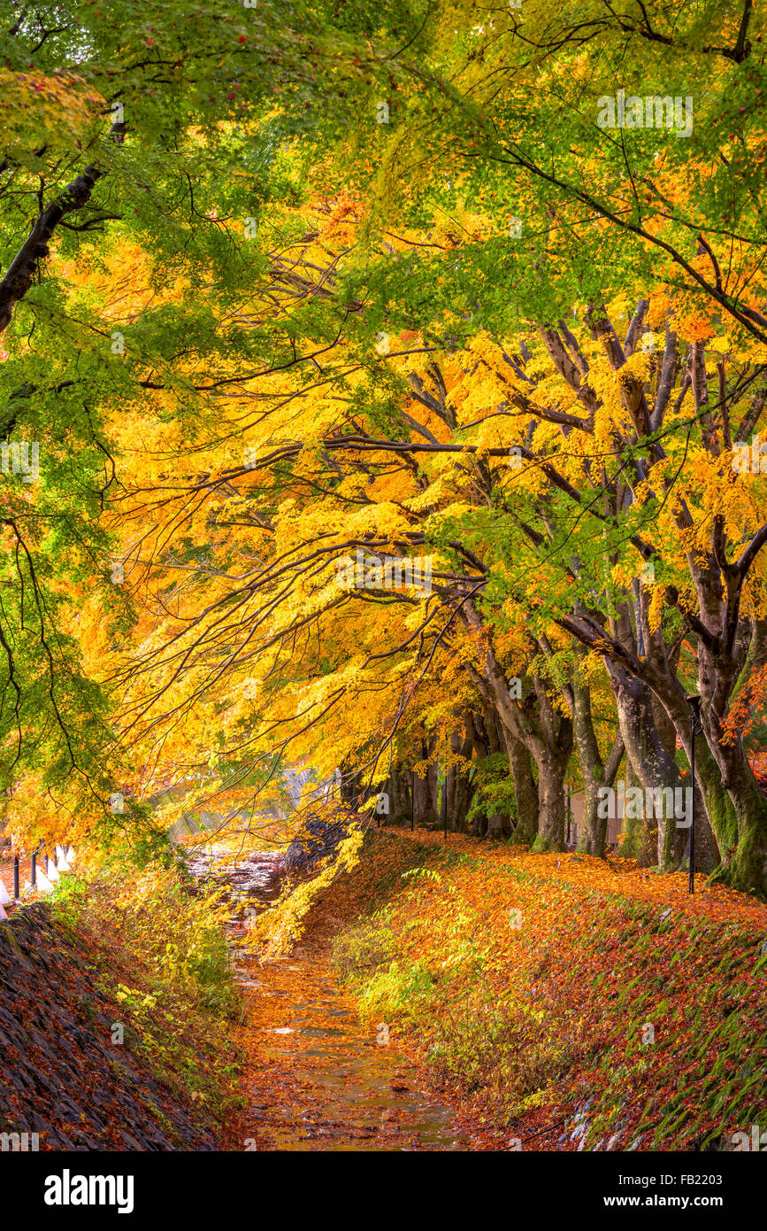 Maple leave corridor of Kawaguchi, Japan during autumn. - Stock Image