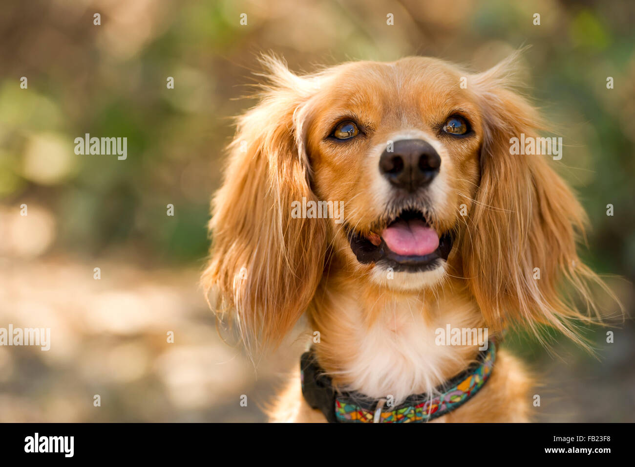 Cocker Spaniel is a cute fluffy brown Cocker Spaniel outdoors looking pretty and serene. - Stock Image