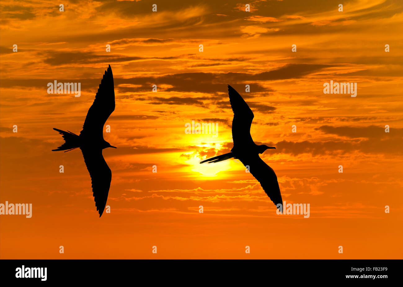 Birds silhouette is two bird flying against a vibrant bright sun orange sunset sky. - Stock Image