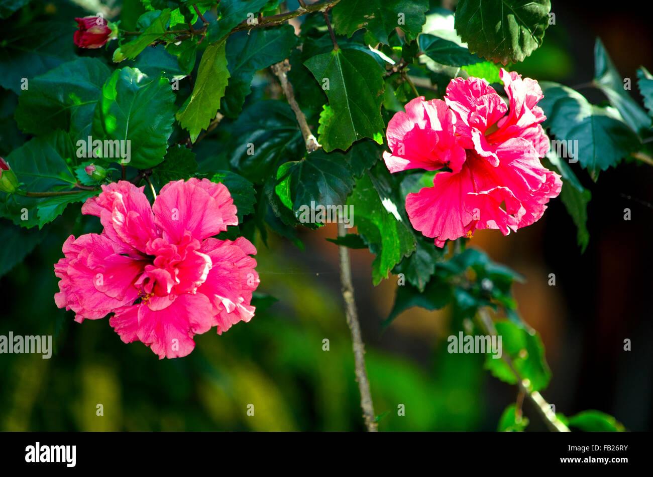 A hibiscus plant stock photos a hibiscus plant stock images alamy flower a hibiscus a plant of asiaa flowera hibiscusa ktiaysky izmirmasajfo