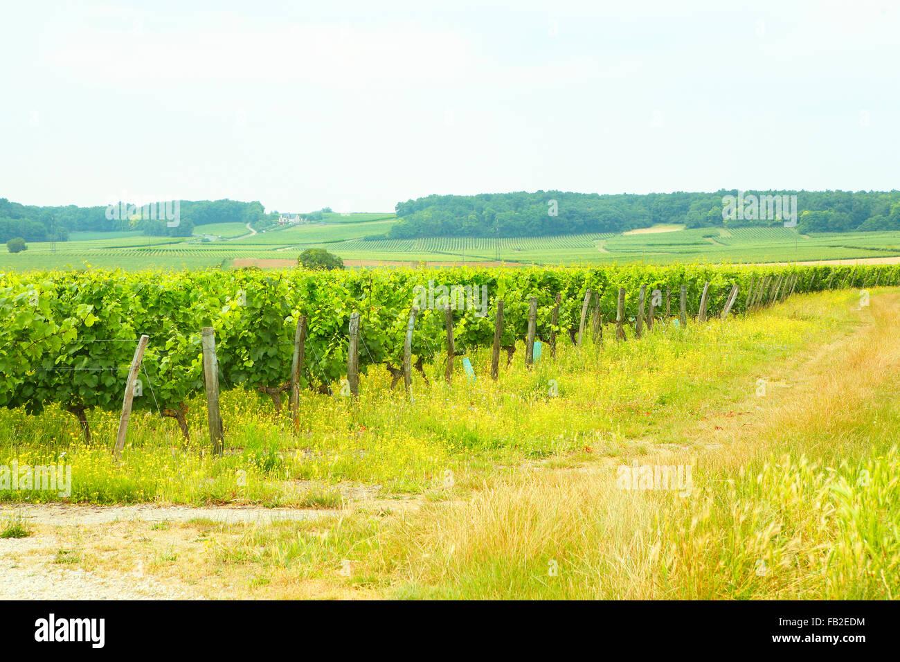 Vineyards in France - Stock Image