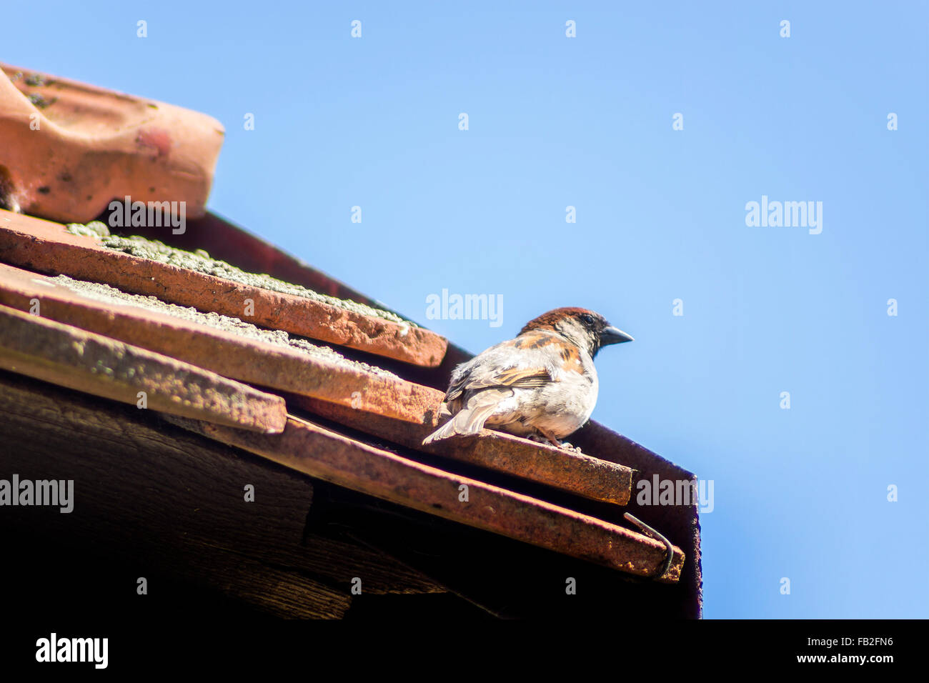 sparrow on the roof Stock Photo