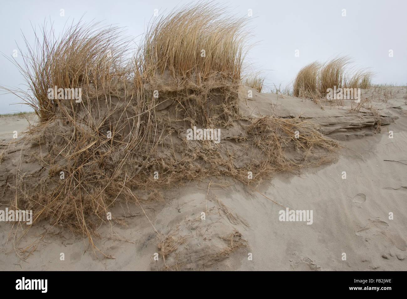 Beach Grass, Marram Grass, roots, coast protection, Strand-Hafer, Strandhafer, Wurzeln, Dünenschutz, Ammophila arenaria Stock Photo