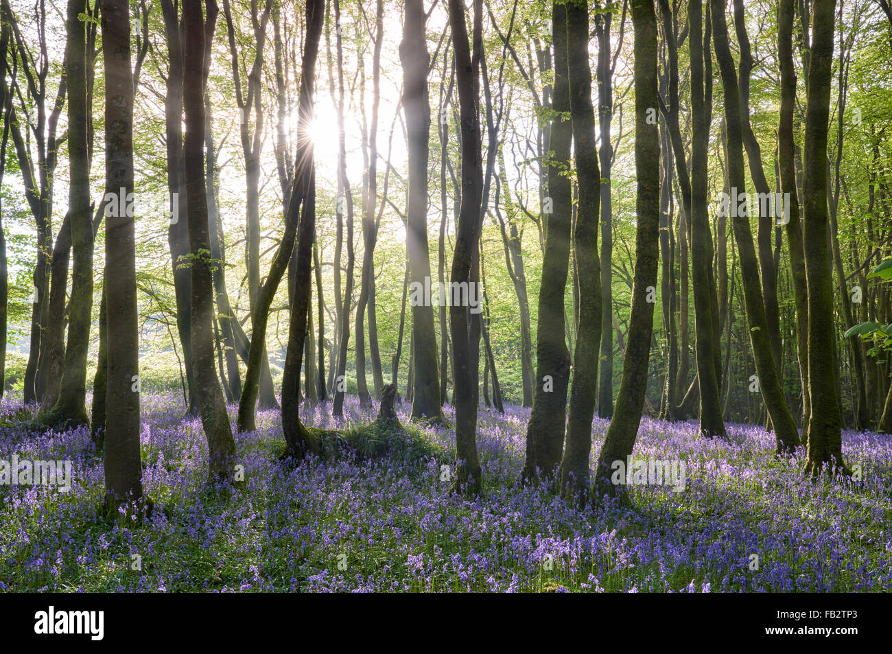 Sunlight shining between the trees and lighting up the bluebells on the woodland floor. - Stock Image