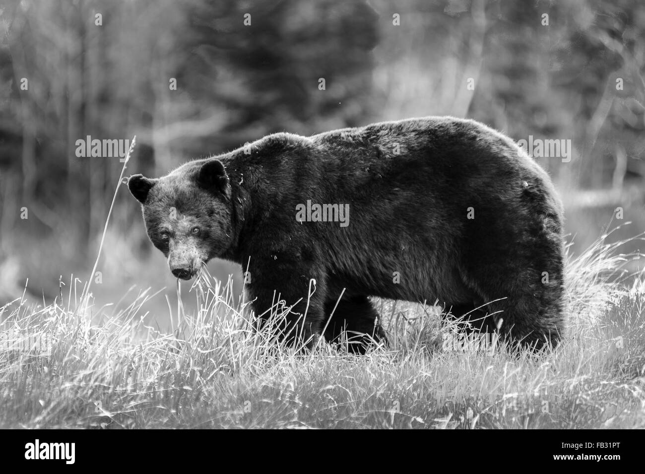 Grizzly bear walking - photo#46