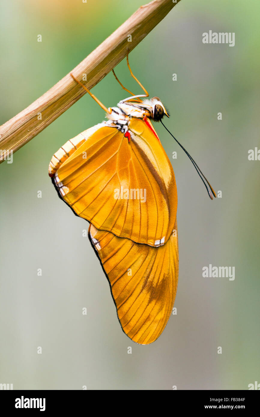 Julia heliconian (Dryas iulia, Dryas julia) butterfly Stock Photo