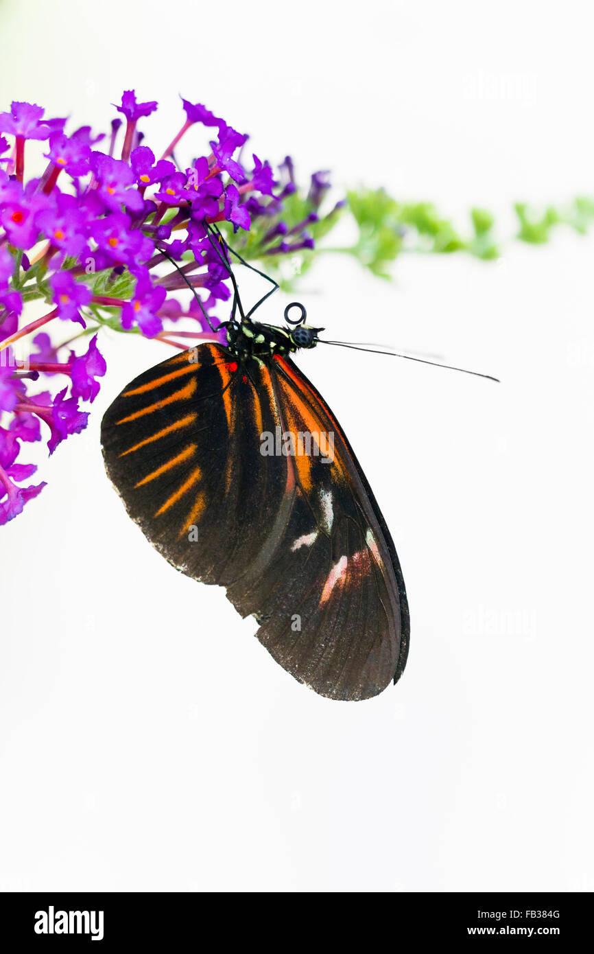 Heliconius melpomene butterfly - Stock Image