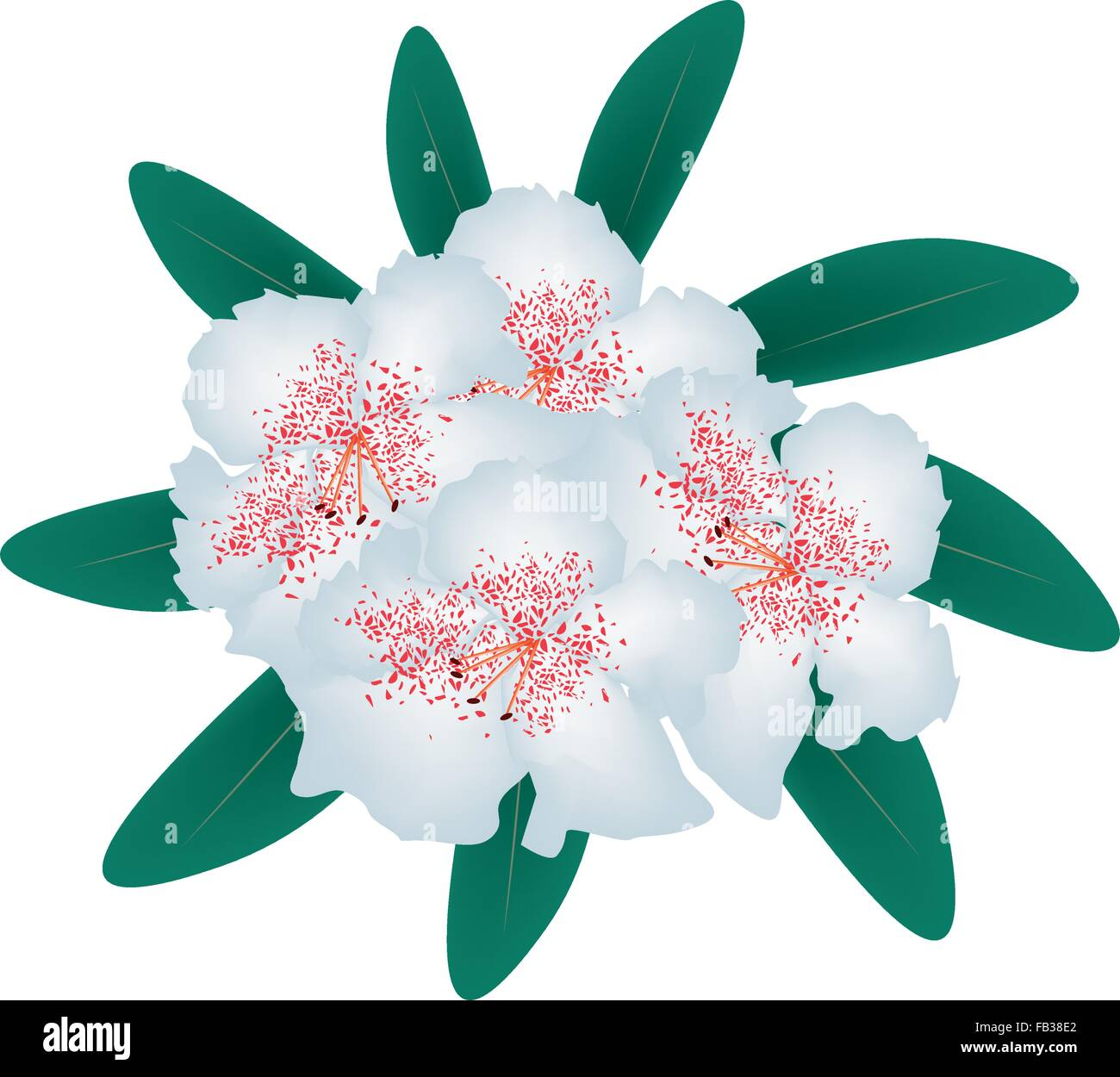 Beautiful Flower, Illustration of White Rhododendron Ponticum Flowers with Green Leaves Isolated on White Background. - Stock Vector