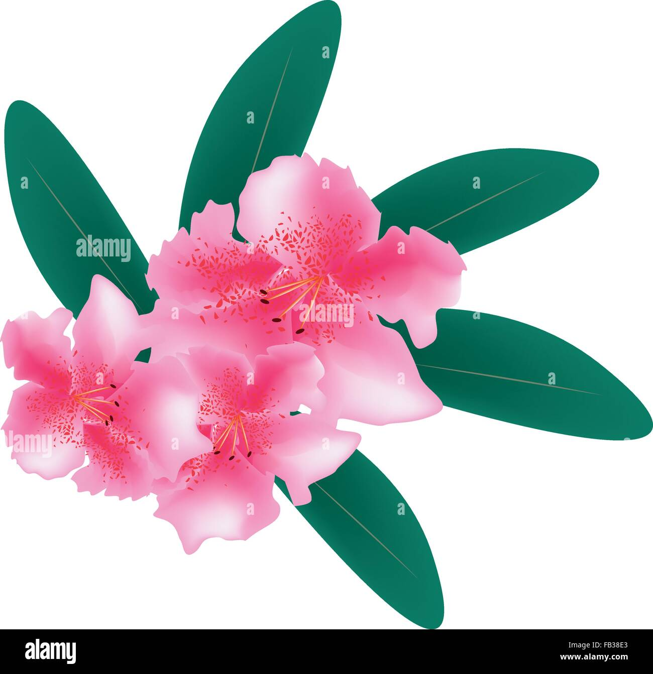 Beautiful Flower, Illustration of Pink Rhododendron Ponticum Flowers with Green Leaves Isolated on A White Background. - Stock Vector