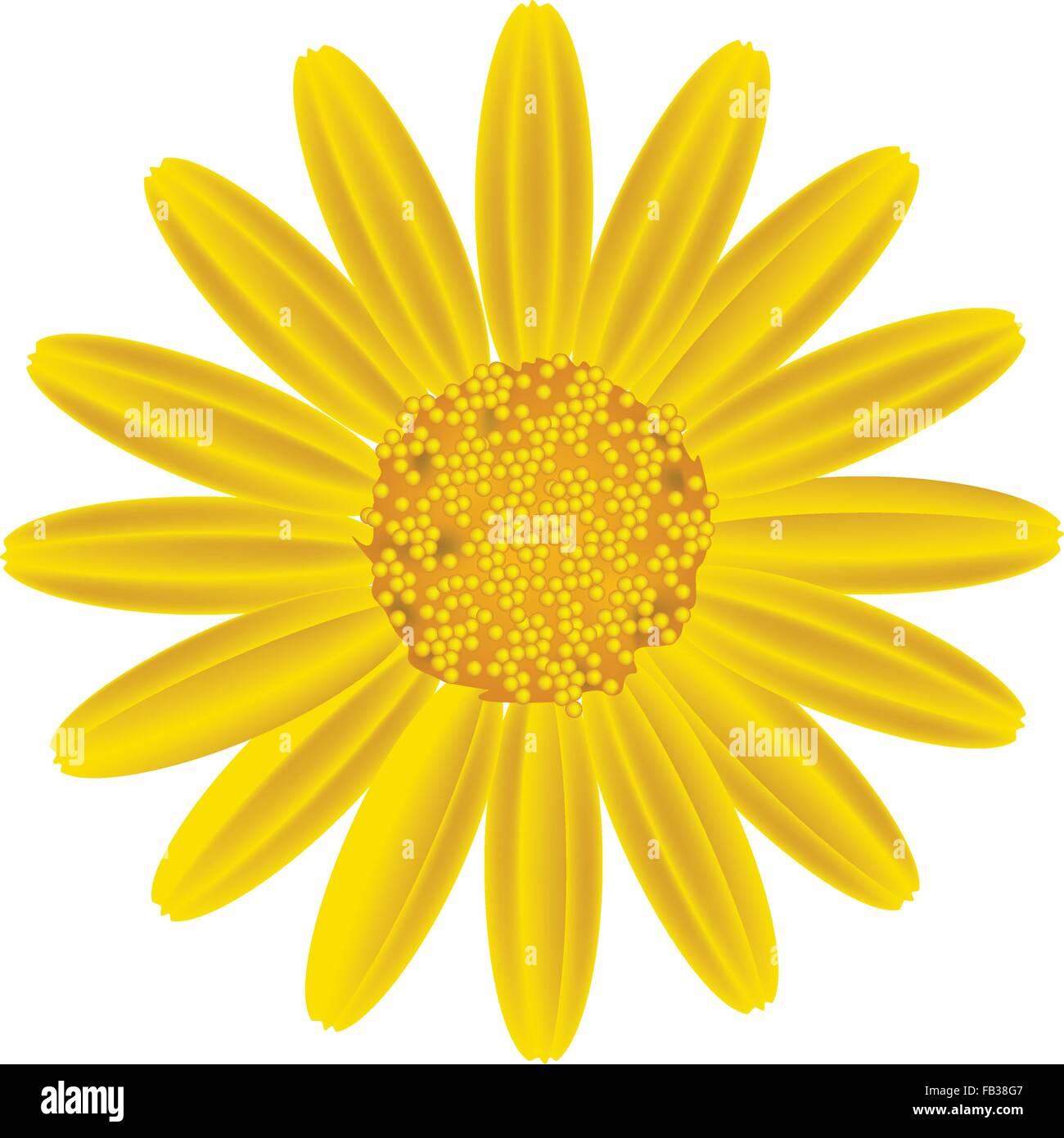 Symbol Of Love Bright And Beautiful Yellow Osteospermum Daisy