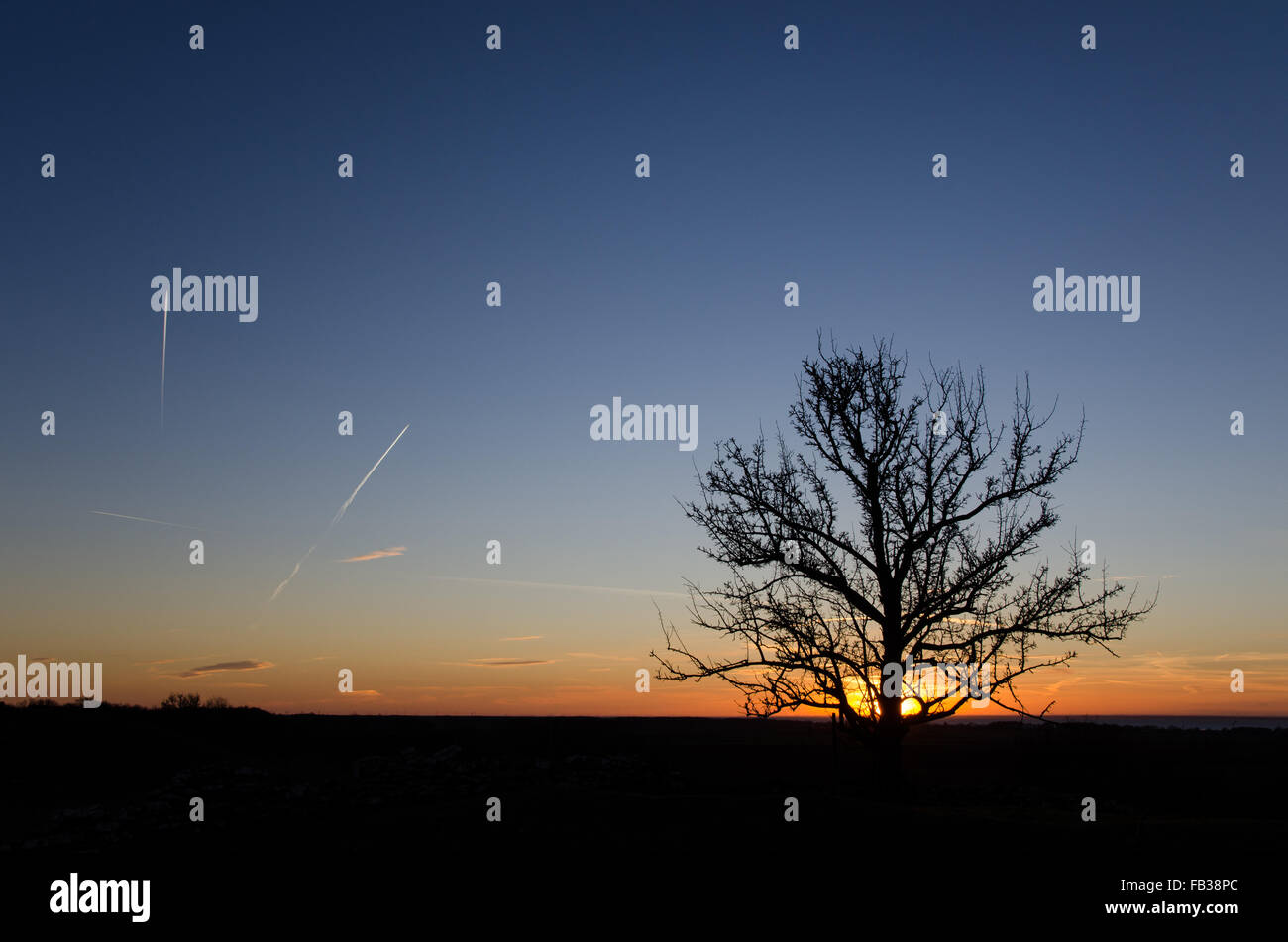 Tree silhouette by sunset with contrails in the sky. From the swedish island Oland - Stock Image