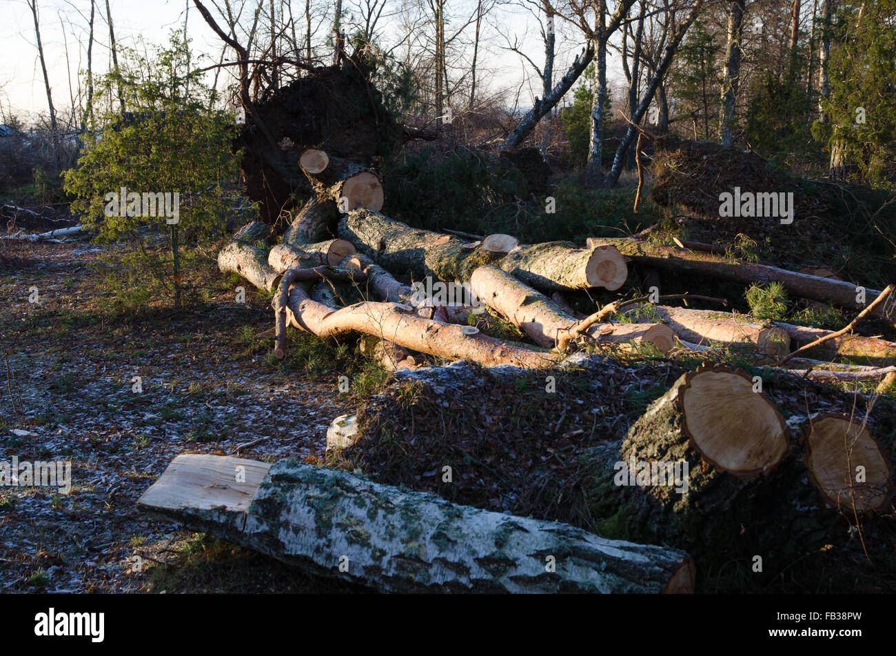 Fallen and cut trees in a mess after the storm - Stock Image