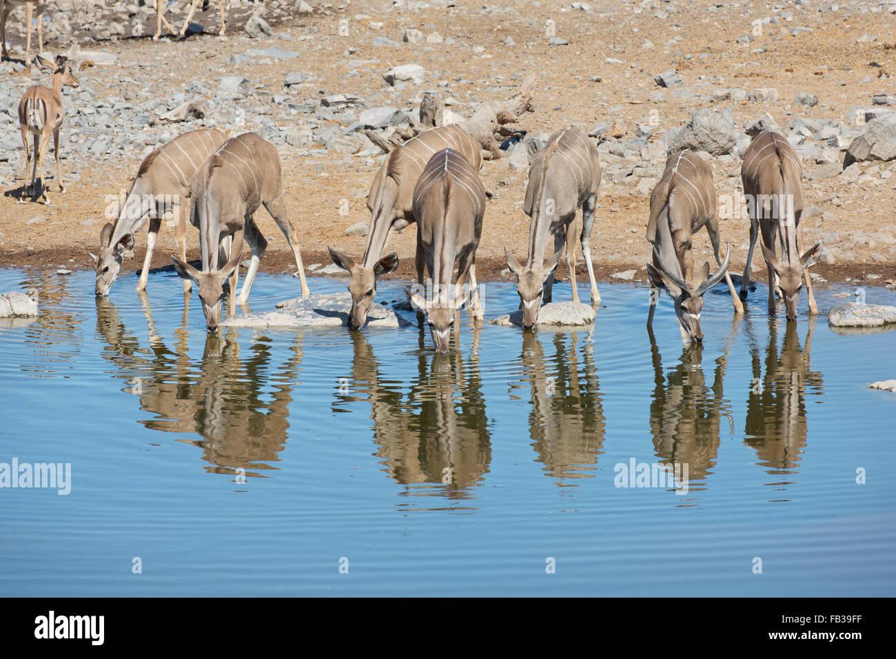 Herd of Greater Kudu (Tragelaphus strepsiceros) drinking at a waterhole in Etosha National park, Namibia - Stock Image