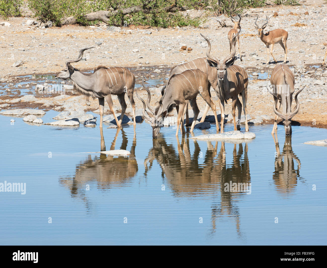 Greater Kudu stags and black-faced impala arriving at waterhole in Etosha National Park, Namibia, to drink - Stock Image