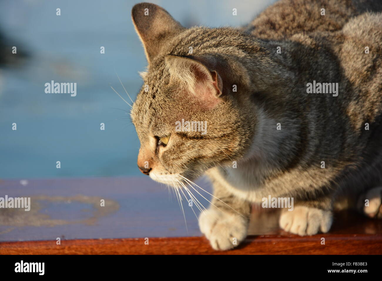 That angry Cat - Stock Image