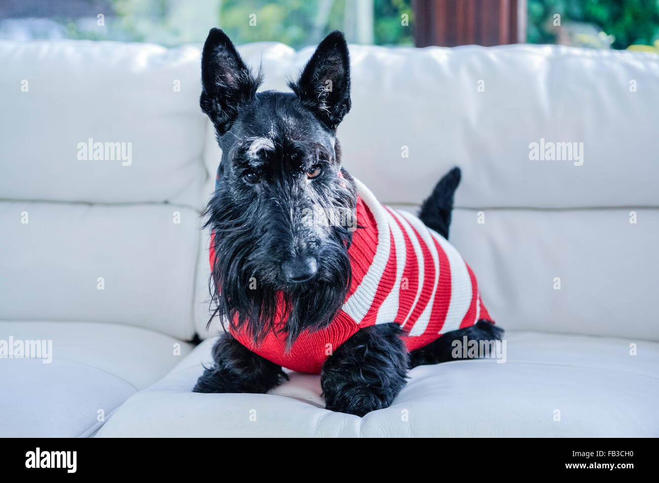 A Scottish terrier scottie dog sitting on a white sofa wearing a Christmas jumper - Stock Image