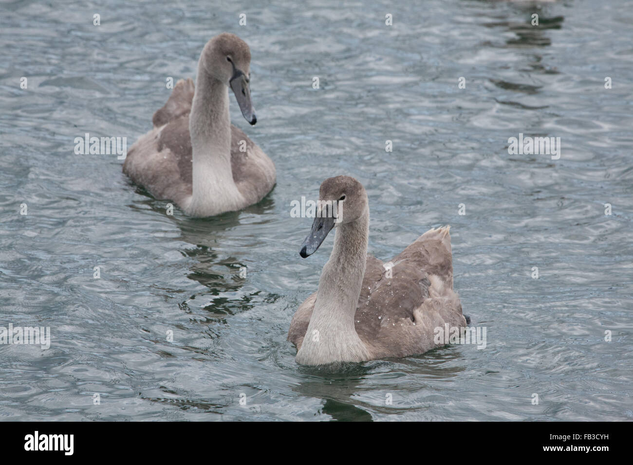 Mute Swans (Cygnus olor) and cygnets taken at Mercury Marina on the  Hamble river Stock Photo