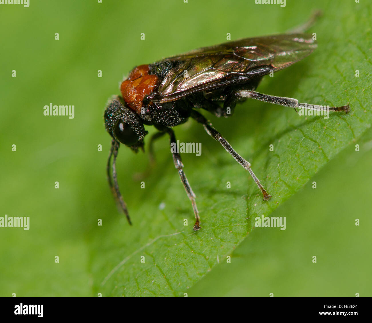 Alder sawfly (Eriocampa ovata) adult. A Hymenopteran insect in the family Tenthredinidae - Stock Image
