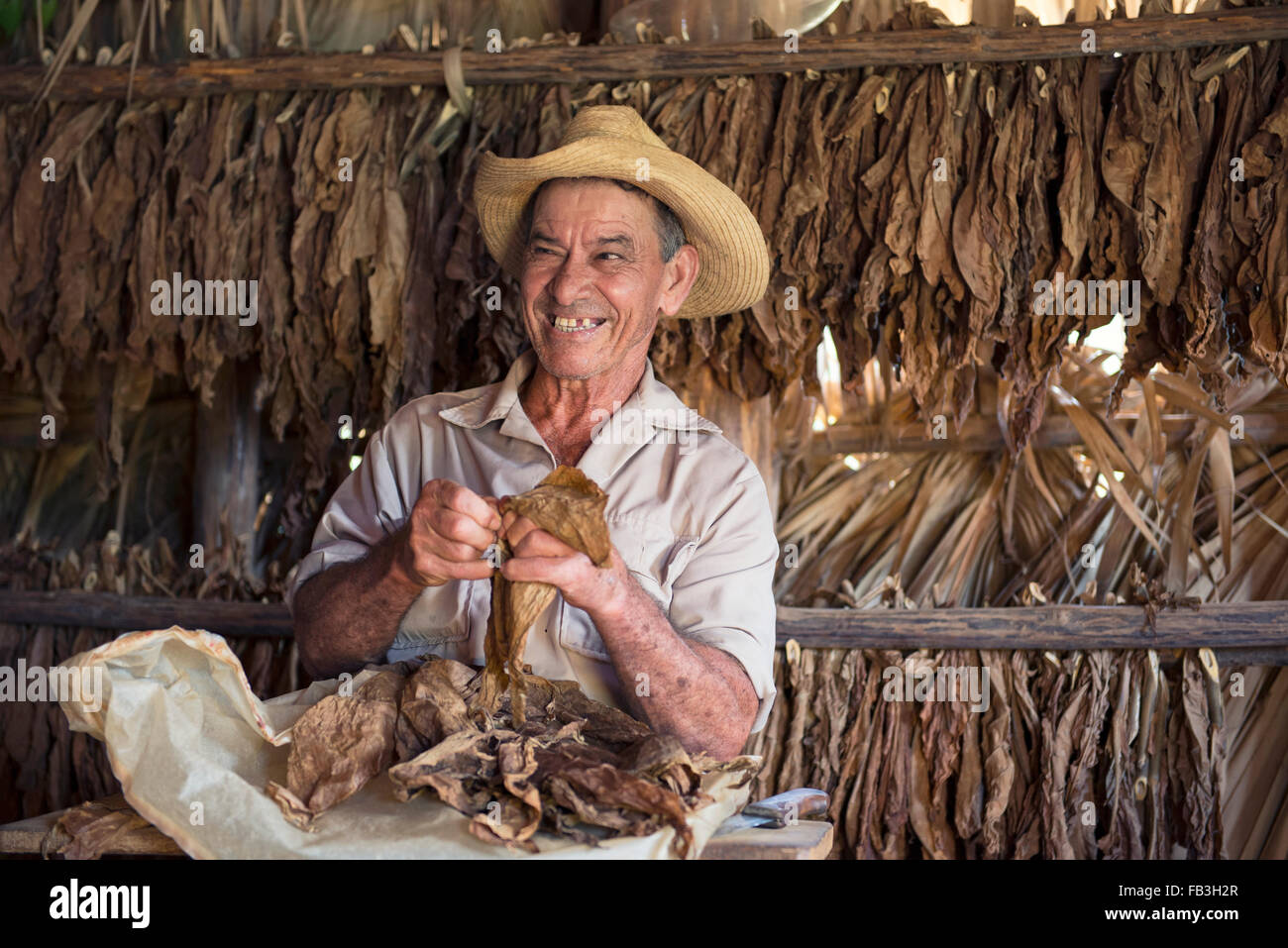 Dry Tobacco Leaves, Man sorting Dried Tobacco Leaves in Tobacco Drying House, Vinales Valley, Pinar del Rio Cuba - Stock Image