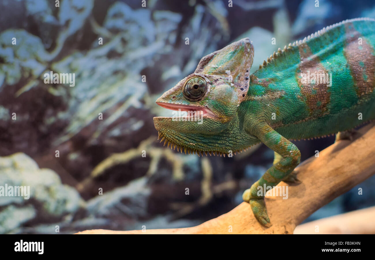 Natural single green chameleon standing on a branch staring whilst in a zoo captivity environment - Stock Image