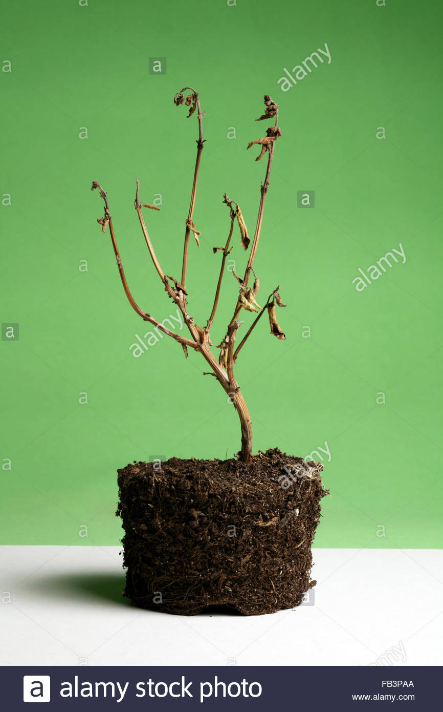 dead potted plant - Stock Image