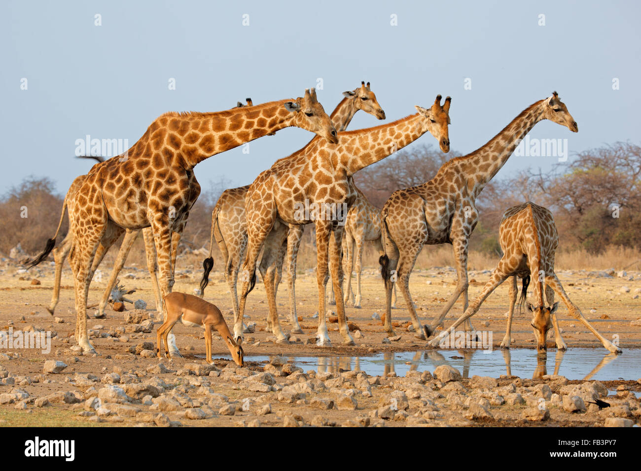 Giraffe herd (Giraffa camelopardalis) at a waterhole, Etosha National Park, Namibia - Stock Image