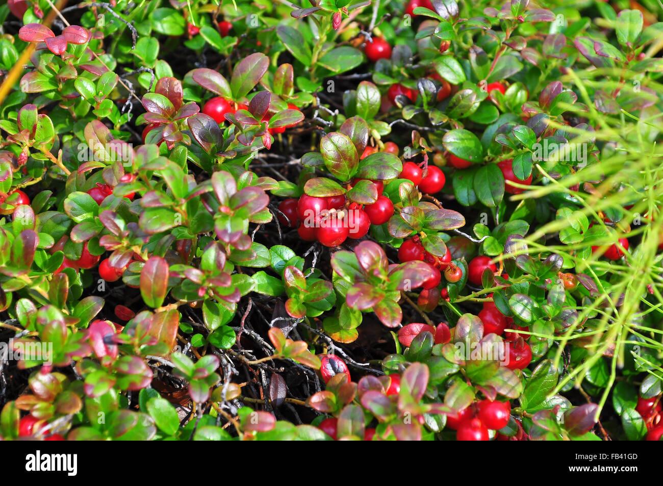 Ripe cowberries on the bushes. Ripe berries in summer vegetation ...