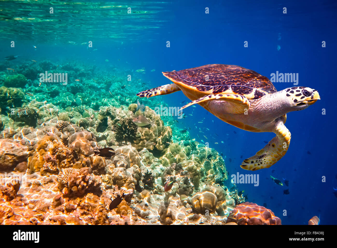 Hawksbill Turtle - Eretmochelys imbricata floats under water. Maldives Indian Ocean coral reef. - Stock Image